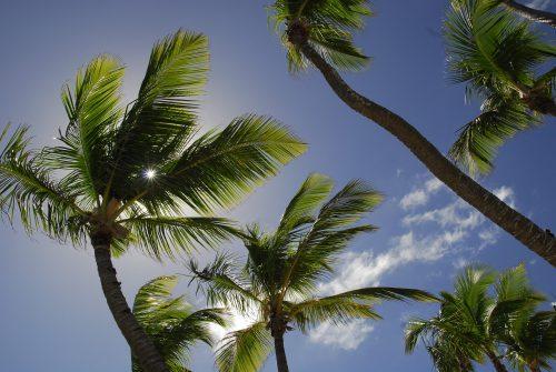 Palmen in der dominikanischen Republik